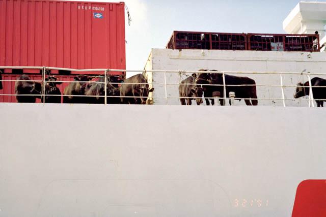 牛を運ぶ船