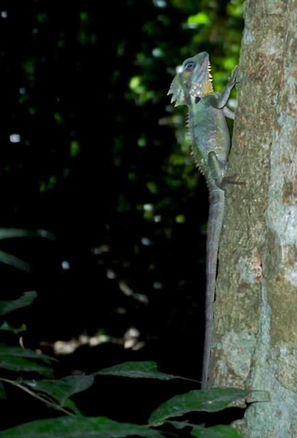 オーストラリアのトカゲ(ドラゴン)