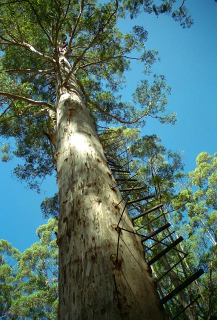 ペンバートンの61mの木