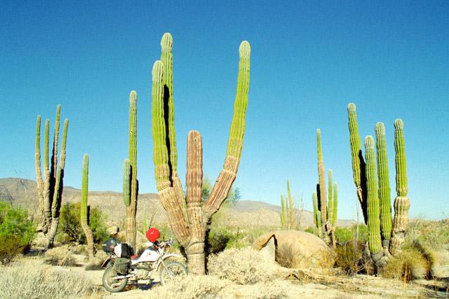 バハカリフォルニアのサボテンの中をバイクで走る