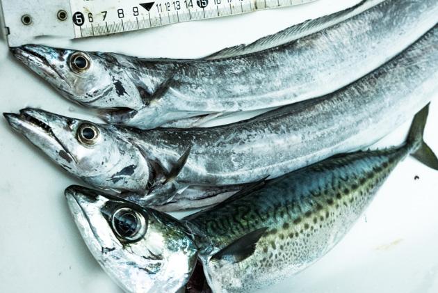福浦の釣果:タチウオとサバ