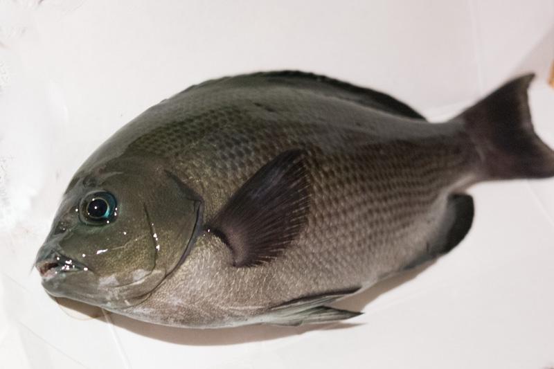 福浦岸壁での釣果・メジナ24cm