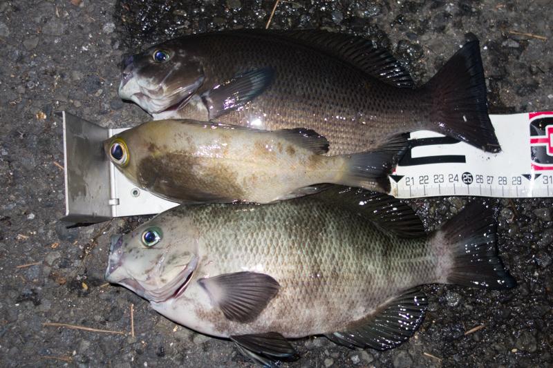 釣果のメジナ