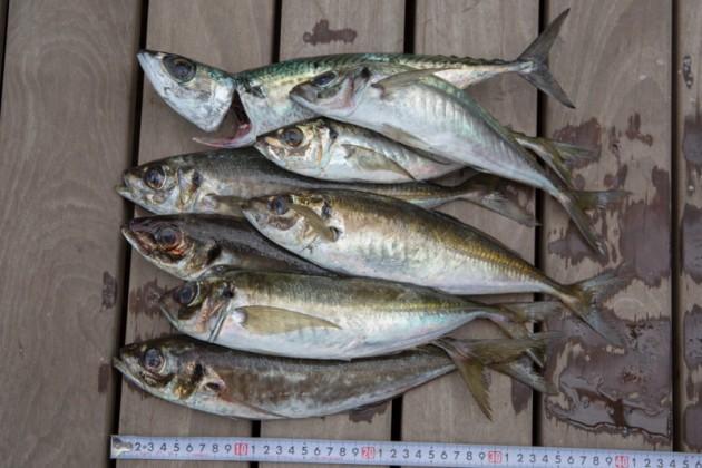 城ヶ島大アジ釣りの釣果