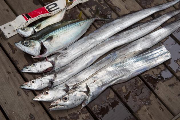 横須賀うみかぜ公園・サバ釣りと太刀魚釣りの釣果