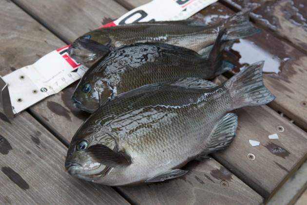福浦岸壁・メジナ釣り釣果