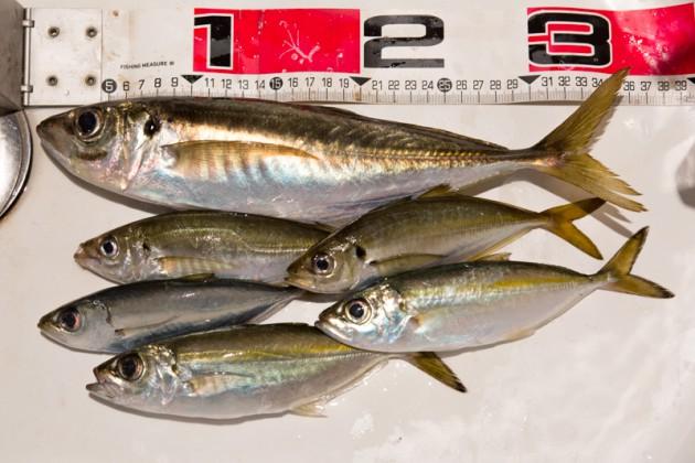城ヶ島アジ釣りの釣果