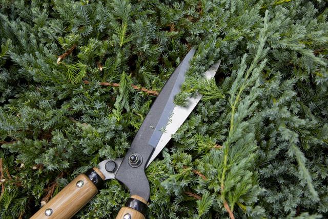 岡恒 刈込鋏 55型でブルーカーペットを刈る