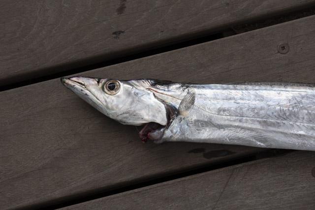 福浦・八景島前の太刀魚の釣果