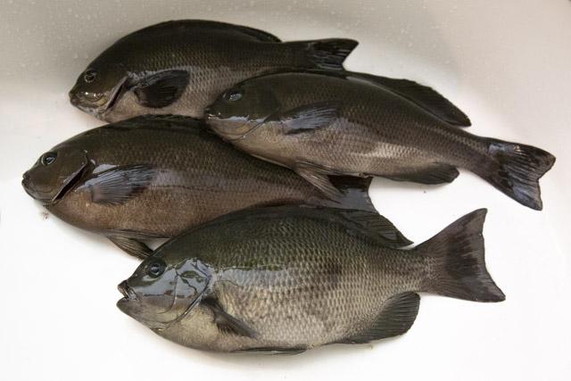 福浦・八景島前の釣果はメジナ4匹