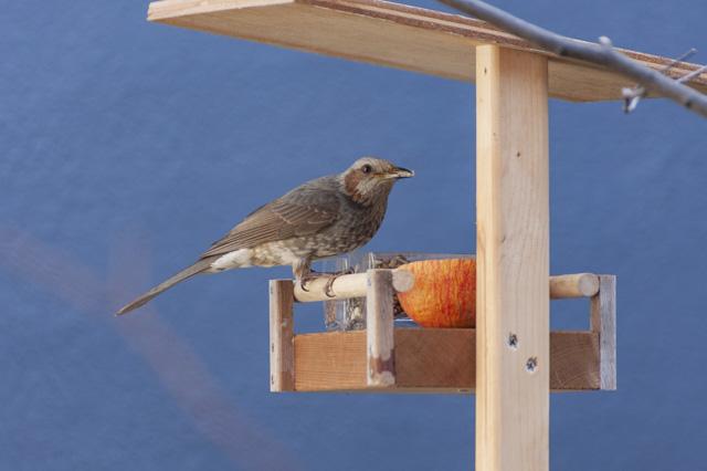 バードフィーダー(鳥の餌台)にやってきたヒヨドリ
