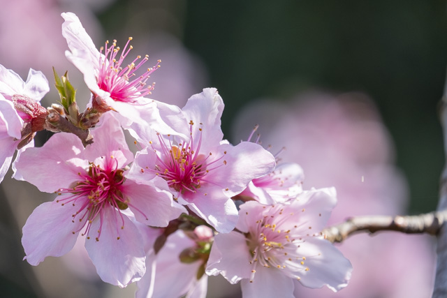 XC50-230mmF4.5-6.7で撮影した花(桃)