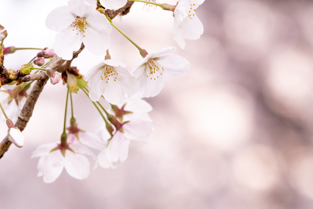 XF100-400mmで撮影した桜