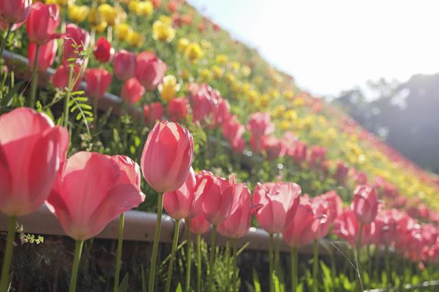 くりはま花の国のチューリップ