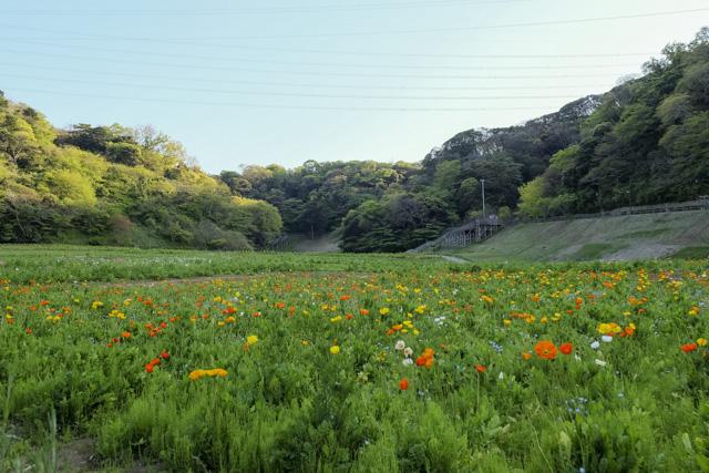 くりはま花の国のポピー畑