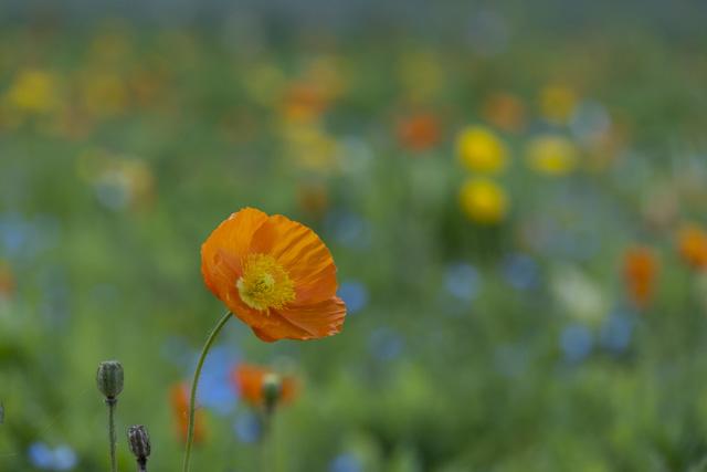 くりはま花の国のポピー
