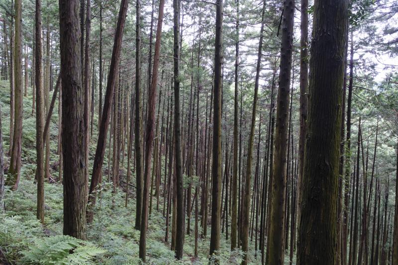 林道 根際線の美しい杉林
