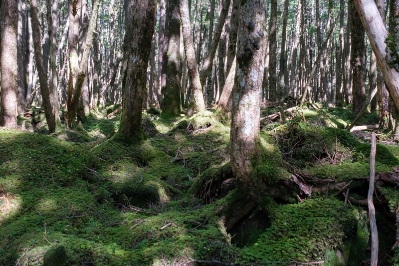 白駒池・原生林のコケ